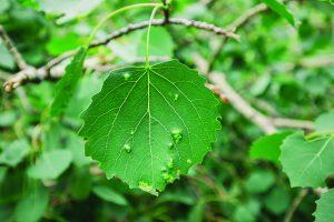 leaf galls